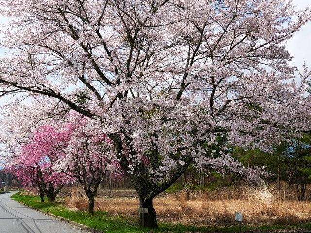 桜2015-04g.jpg