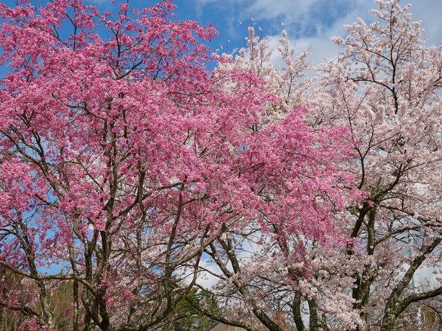 桜2015-04h.jpg