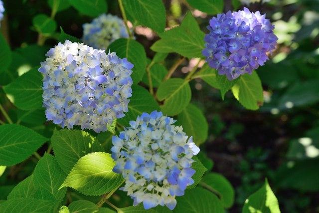紫陽花2015-06b.jpg